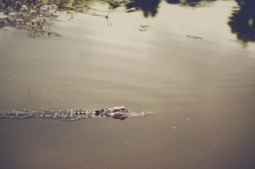 DSC 4910 512x339 Alligators in the Wild